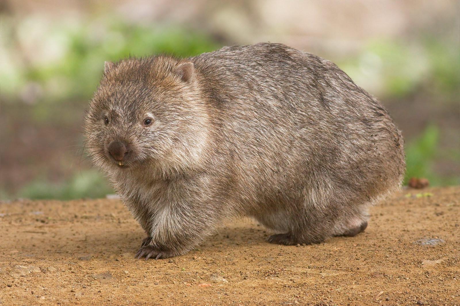 Wombat - Vombatus ursinus