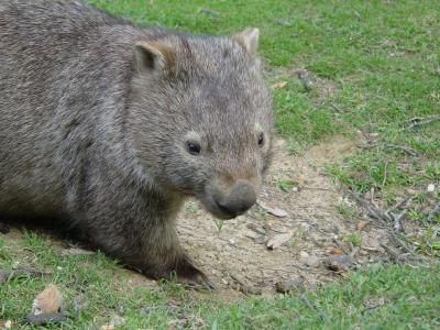 wombat pose facing camera